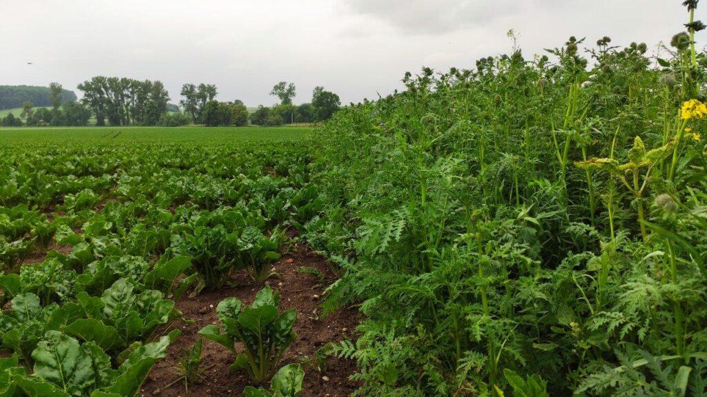 Projekt Kwitnące Pola jako element wsparcia zrównoważonego rolnictwa